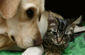 Yellow lab and tabby cat