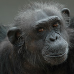Kitty, a chimpanzee retired from research