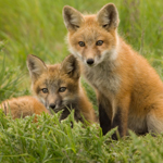 Two foxes in field