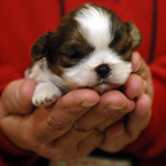 Puppy in hands