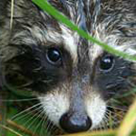Raccoon face in grass