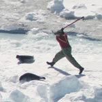 Fisherman clubs harp seal in Canada