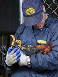 The HSUS's John Goodwin at a cockfighting bust