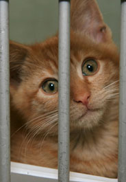 Yellow tabby cat in cage