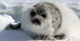 Harp seal on Canada's ice floes