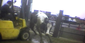 Downed cow being pushed with forklift at Hallmark Meat Packing in Chino, Calif.
