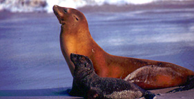 281x144_sea_lion_and_pup_noaa