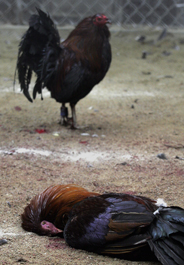 Roosters at raided Virginia cockfighting pit