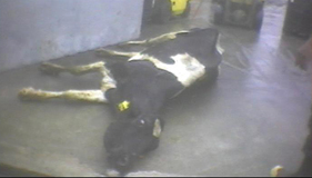 Downed cow at Hallmark/Westland Meat Co.