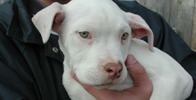 White pit bull puppy