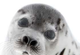 281x192_seal_pup_hsus_gyger
