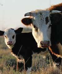 200x265_cows_2