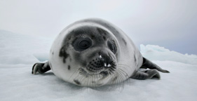 281x144_beautiful_seal_gyge