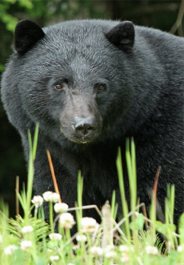 Black bear in flowers