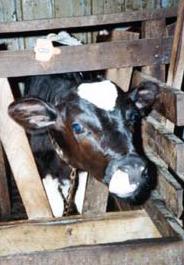 Calf in a veal crate