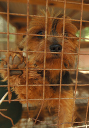 Yorkie dog rescued from a puppy mill in Tennessee