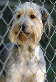 Wheaten terrier dog at animal shelter
