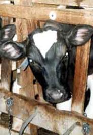 Calf in veal crate