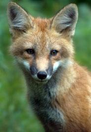 Fox's face