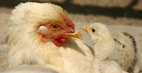 281x144_chicken_mom_istock