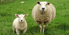Lamb_2